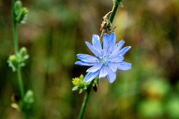 Fleur de chicorée poussant en forêt