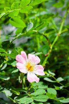 Fleur de chien-rose closeup