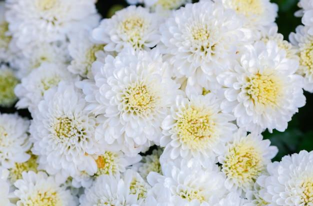 Fleur de chrysanthème blanc sur la vue de dessus
