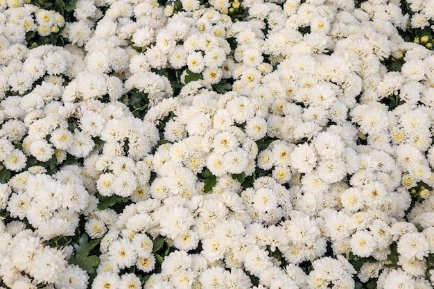 Fleur de chrysanthème blanc