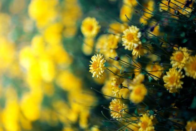 Fleur de chrysanthème dans le champ de la ferme