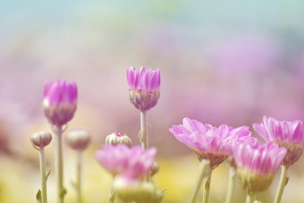 Fleur de chrysanthème douce avec soleil et bokeh doux et chaud de la lumière. couleur pastel