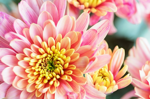 Fleur de chrysanthème jaune et rose