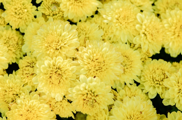 Fleur de chrysanthème jaune sur la vue de dessus