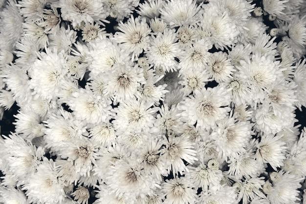 Fleur de chrysanthème avec motif de feuilles fond floral coloré comme carte. gros plan les plantes de chrysanthème blanc fleurissent dans la boutique de la ferme fleurie. décorations d'automne.