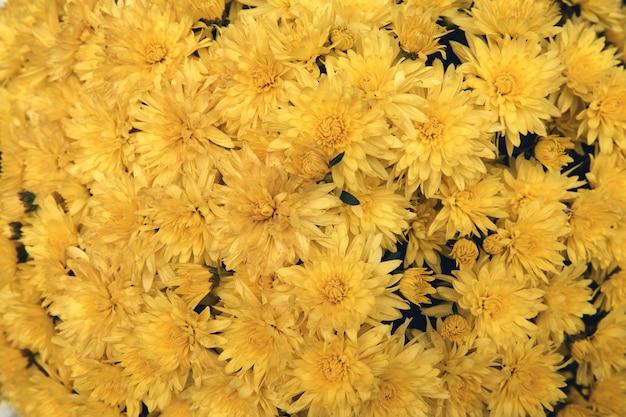 Fleur de chrysanthème avec motif de feuilles fond floral coloré comme carte. gros plan des plantes de chrysanthème jaune fleurissent dans la boutique de la ferme fleurie. décorations d'automne.