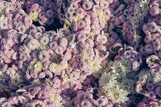 Fleur de chrysanthème avec motif de feuilles fond floral coloré comme carte. gros plan les plantes de chrysanthème rose et blanc fleurissent dans la boutique de la ferme fleurie. décorations d'automne.