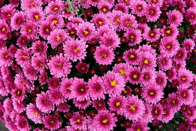 Fleur de chrysanthème avec motif de feuilles fond floral coloré comme carte. gros plan des plantes de chrysanthème rose fleurissent dans la boutique de la ferme fleurie. décorations d'automne.