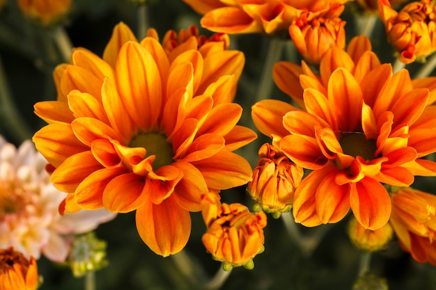 Fleur de chrysanthème orange.