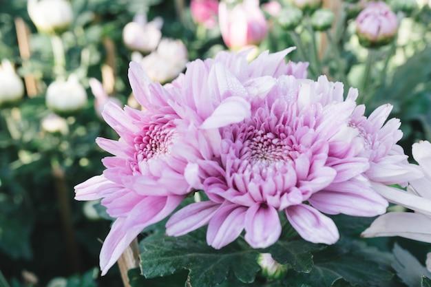 Fleur de chrysanthème rose dans le jardin avec un arrière-plan flou