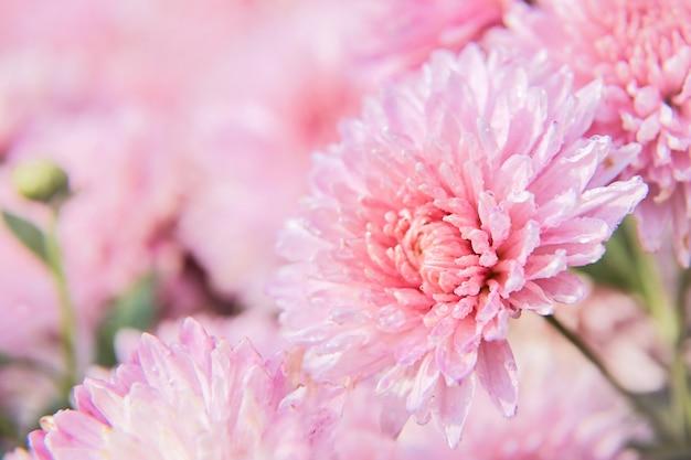 Fleur de chrysanthème rose avec des gouttes de rosée dans le jardin