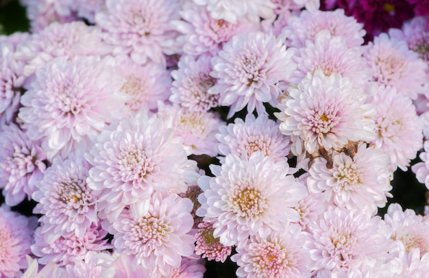 Fleur de chrysanthème rose sur la vue de dessus