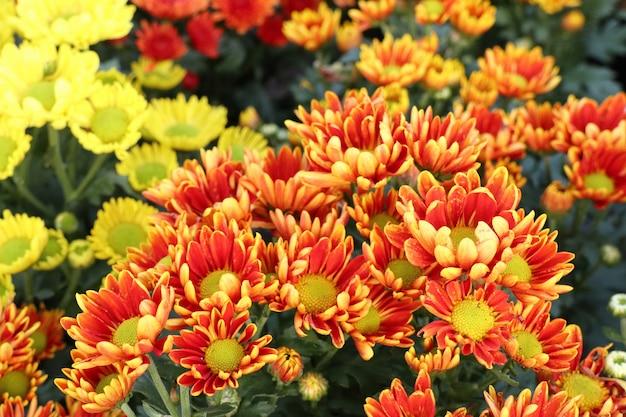 Fleur de chrysanthème en tropical