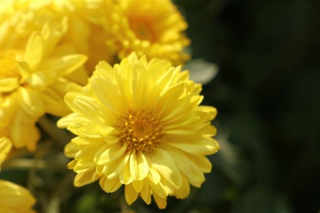 Fleur de chrysanthème à vendre