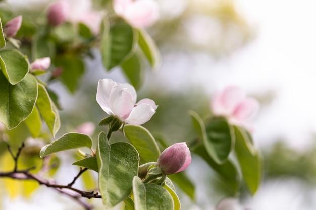 Fleur de coing sur une branche dans le jardin de printemps.