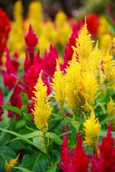 Fleur colorée de celosia plumosa jaune, plus connue sous le nom de