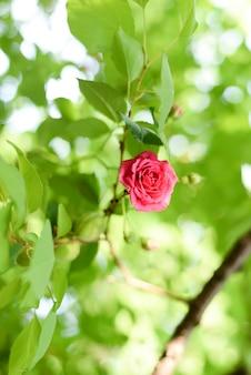 Fleur de corail rose dans un jardin de roses