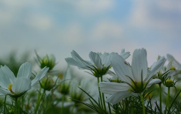 Fleur de cosmos blanche qui fleurit magnifiquement pour le fond.
