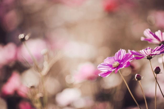 Fleur cosmos bouchent sur fond de coucher de soleil avec mise au point sélective douce
