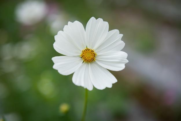 Fleur cosmos colorée dans le jardin