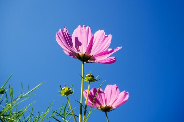 Fleur de cosmos (cosmos bipinnatus) dans le jardin