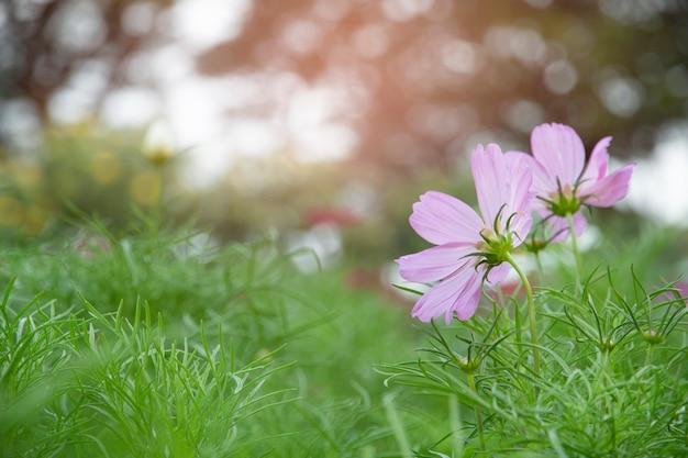 Fleur de cosmos dans le jardin