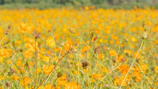 Fleur de cosmos en fleurs dans le jardin. printemps frais et prairie florale d'été.