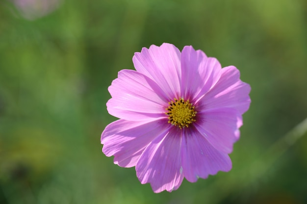 Fleur de cosmos en gros plan dans le fond de la nature