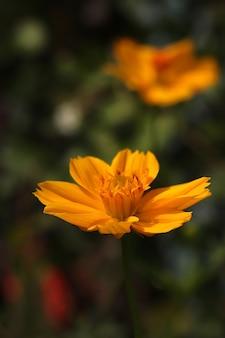 Fleur de cosmos jaune, connue sous le nom de cosmos sulphureus, isolée avec fond vert flou