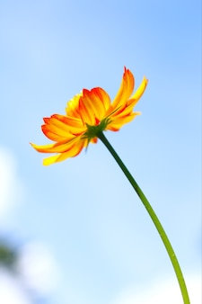Fleur de cosmos jaune contre le ciel bleu.