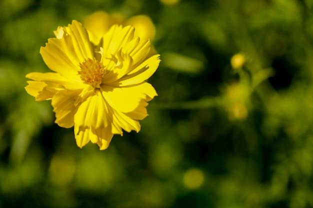 Fleur de cosmos jaune gros plan.