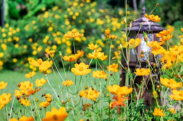 Fleur cosmos jaune orange qui fleurit