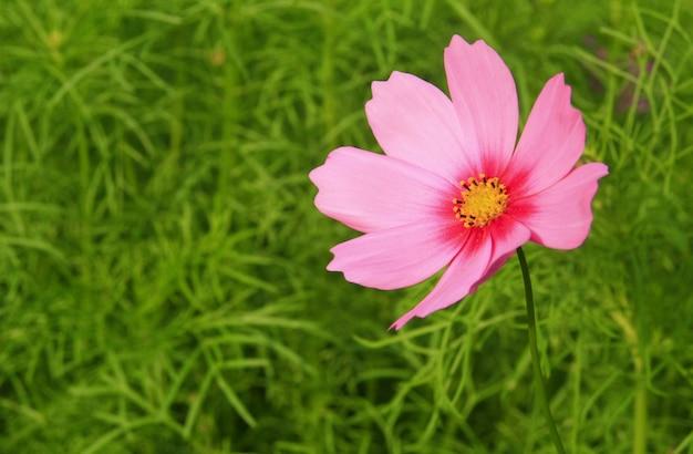 Fleur cosmos rose dans la cour