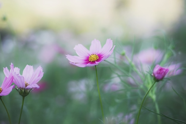 Fleur cosmos rose dans le jardin