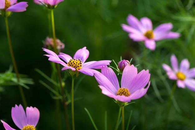 Fleur cosmos rose