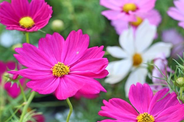 Fleur de cosmos en tropical