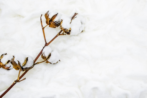 Fleur de coton blanc moelleux. mise à plat.