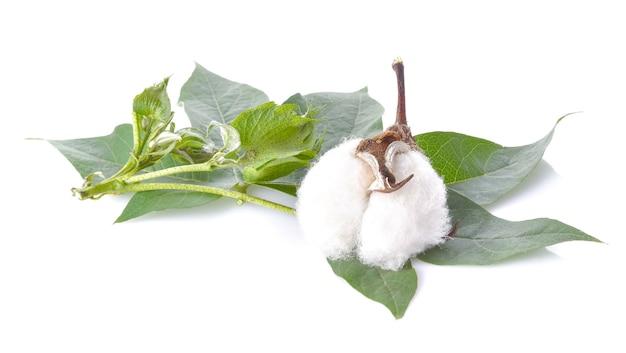 Fleur de coton avec des feuilles sur une surface blanche
