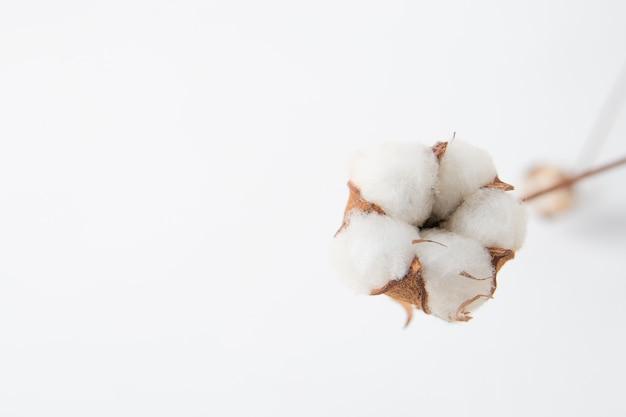 Une fleur de coton gros plan sur fond blanc.