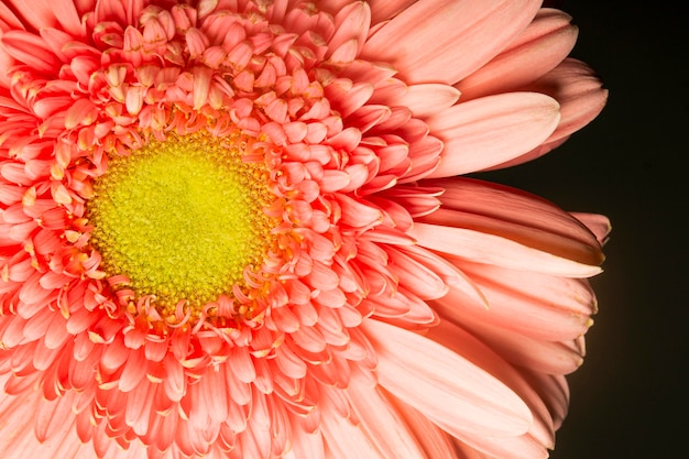 Fleur de couleur corail gros plan