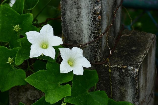 Fleur de courge amère, fleur de lierre naturel avec fond de feuilles vertes.