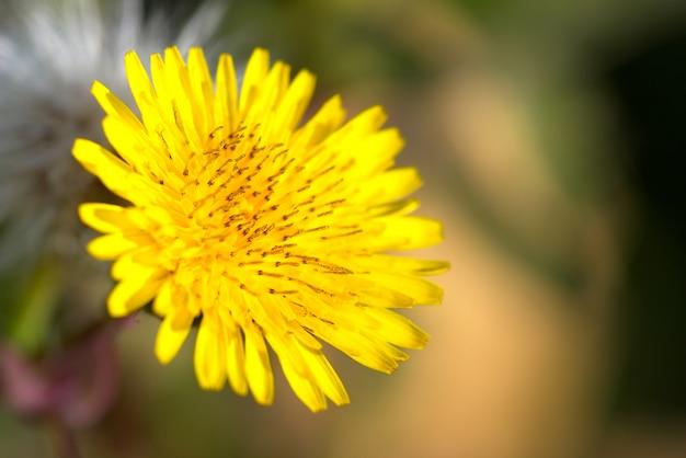 Fleur de crepis vesicaria