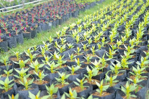 Fleur de crête de coq à plumes de célosie en croissance dans la ferme de flore. la culture de la plantation de fleurs
