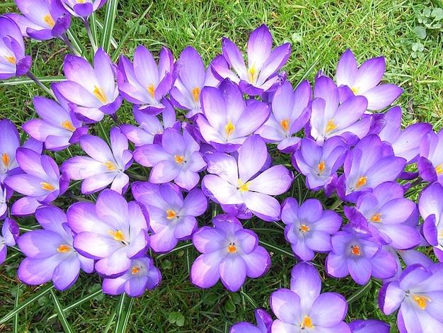 Fleur de crocus au printemps violette
