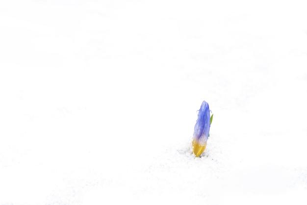 La fleur de crocus grimpe dans la neige
