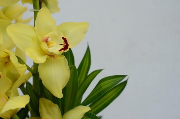 Fleur de cymbidium jaune sur blanc bakcground