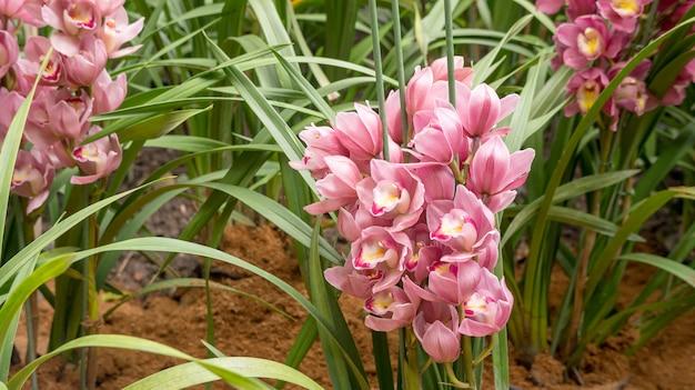 Fleur de cymbidium mauve dans un jardin.