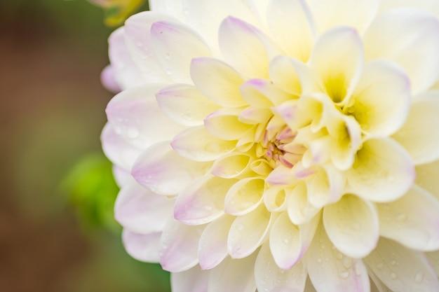 Fleur de dahlia blanc avec des gouttes de pluie dans le jardin, flou artistique.