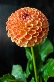 Fleur de dahlia frais fleur de dahlia orange avec goutte d'eau sur fond noir.