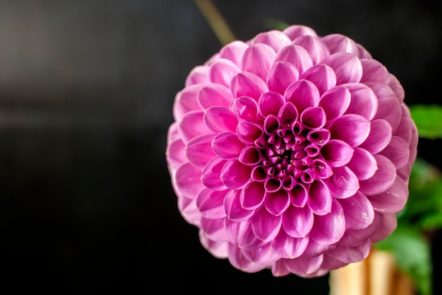 Fleur de dahlia frais fleur de dahlia rose avec goutte d'eau sur fond noir.